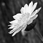 Without colour but still with grace by Karen Stackpole