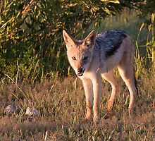 Black-backed Jackal by Scott Carr