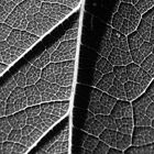 Up Close & Personal With a Sunflower Leaf by Rebbecca Romine
