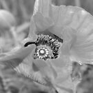 Poppy Center by Karen K Smith