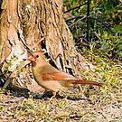 Northern Cardinal Hen  by Janice Carter
