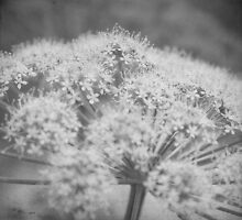Queen Ann's Lace by DaveTurner