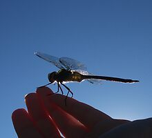 Rescued Dragonfly in Hand by Muninn