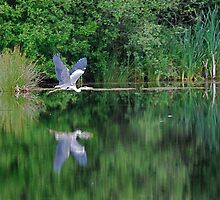 Heron Flight by dougie1page2