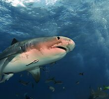 Tiger Shark by Greg Amptman