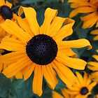 Black-eyed Susan by AvenueJ