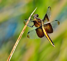 Female Widow Skimmer by Nick Conde-Dudding