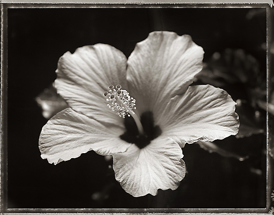 hibiscus by Dave Milnes