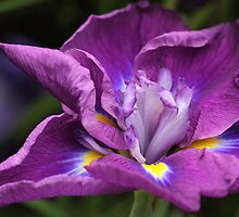 """Japanese Iris ..."" by Rosehaven"