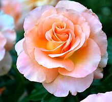 Single Peach & White Rose Bloom by labellalotus