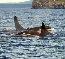 Orca Family by DebYoung
