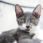 Cute grey kitten by Andrew Lever