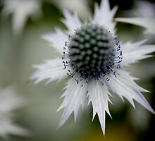 Sea Holly 2 by Paul Ridley