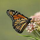 Monarch 2010 by Gregg Williams