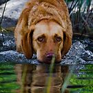 Freda, a Chesapeake hunting for bass by amontanaview