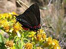 Butterfly ~ Great Blue/Purple Hairstreak (Male) by Kimberly Chadwick