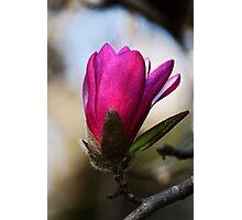 Magnolia -Pink- Photographic Print