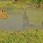 Lion -crocodile interaction 3 by jozi1
