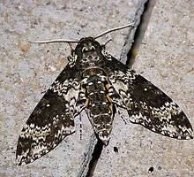 Rustic Sphinx Moth  by Sherry Pundt