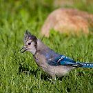 Blue on da hunt by Janika