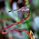 Colors of a Dragonfly by Colleen Rohrbaugh