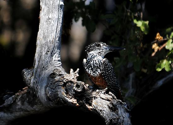 Giant Kingfisher - Zambezi River by Sharon Bishop