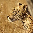 Big Cats of South Africa by Tara Pirie