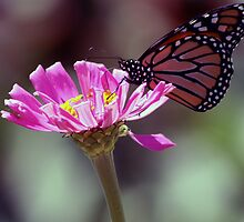 Monarch Butterfly And Zinnia's by kkphoto1