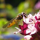 hover fly by millymuso