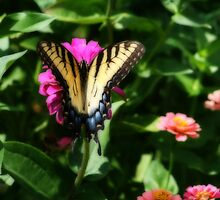 Yellow Swallowtail In Full Monty by kkphoto1