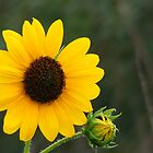 Prairie Sunflower by elasita