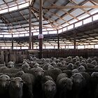 The Holding Pen - Deeargee Woolshed, Northern Tablelands, NSW, Australia by Kitsmumma