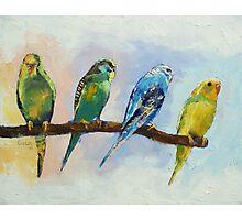 Four Parakeets Photographic Print