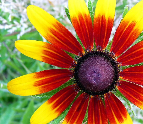 "Blackeyed Susan - ""Becky Cinnamon Bi-color"" variety by Marcia Rubin"