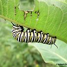 Caterpillar Munching on a Leaf by Barberelli