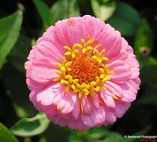 Lilliput Mix - Zinnia 5 by Barberelli