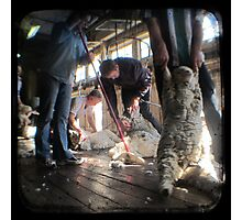 All Systems Go in the Deeargee Woolshed - TTV Photographic Print