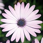 Osteospermum - African Daisy by Darren Williamson