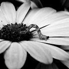 Inchworm - B & W by shimschoot