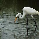Great White Heron by KatsEyePhoto