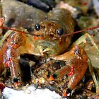 Crayfish by Marcia Rubin