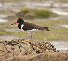 european oystercatcher by Jon Lees