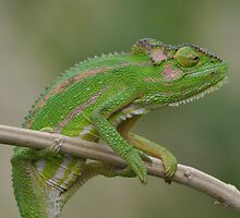 Chameleon Gymnastics by Cheryl Westerdale