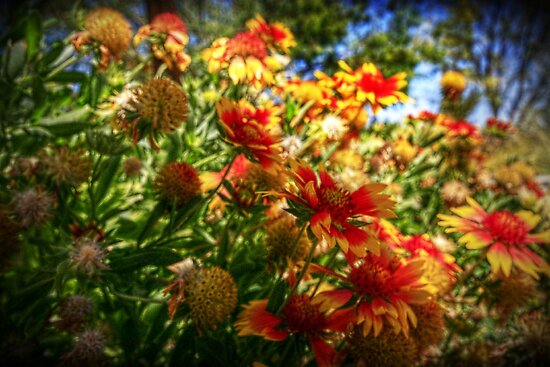 Blanket Flowers by Christine Annas
