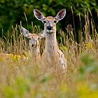 White Tailed Deer in Grass - Ottawa, Ontario by Michael Cummings