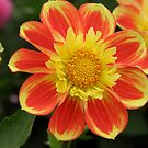 Delicious Dahlia by Patty Boyte
