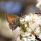 Juniper Hairstreak Butterfly (Callophrys gryneus) by Penny Odom