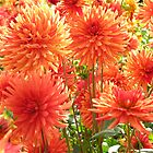 Orange Dahlias by mlwaliman