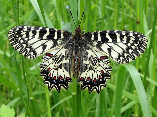Southern Festoon Butterfly in Romania by Dennis Melling