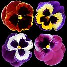 Pansies by Brian Haslam